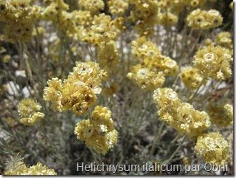 Une Essentielle de choc : l'Helichryse italienne !