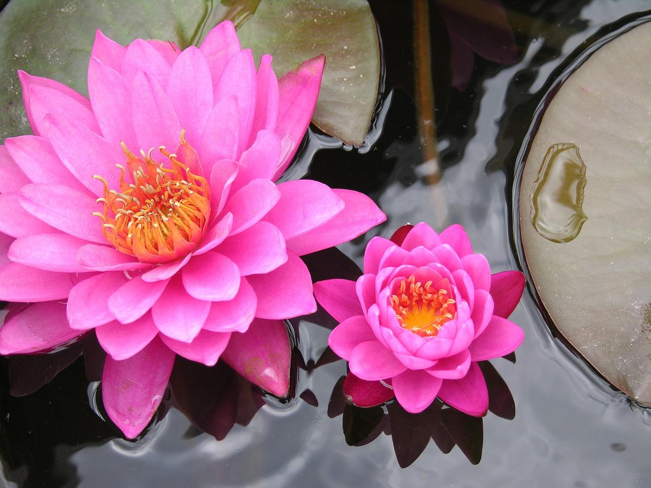 une fleur de nénuphar