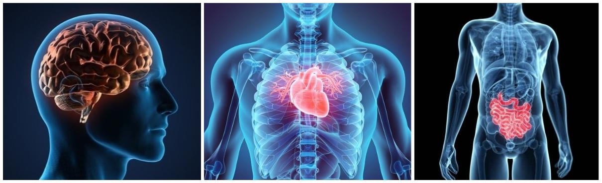 Faites fonctionner vos 3 cerveaux ensemble : tête, cœur, ventre