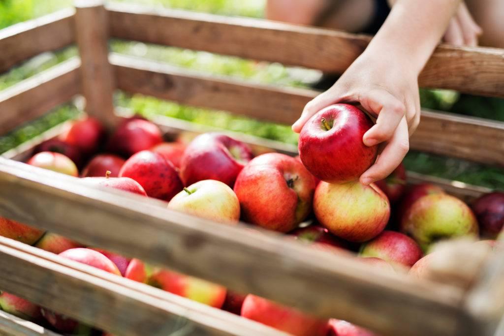 manger des pommes locales de saison