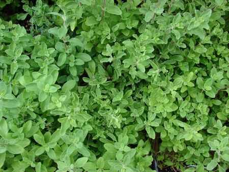 Marjolaine à coquilles (Origanum majorana)